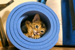 cats-abyssinians-4915928_1280