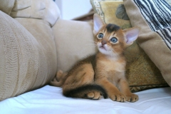 cats-abyssinians-4915940_1280