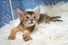 cats-abyssinians-4915993_1280