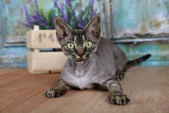 Cat-Cat_Guide-A_young_Devon_Rex_Cat_with_a_hypoallergenic_coat