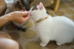 Pet owner giving treats to his Munchkin cats