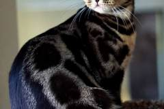 The-Charcoal-Bengal-cat